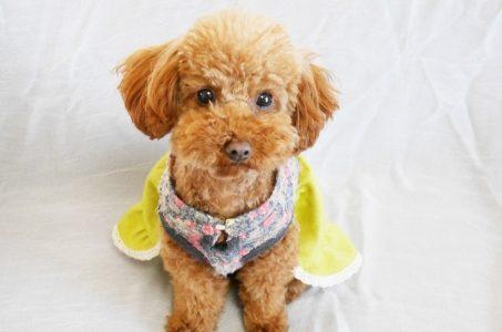 【子犬図鑑】初めて飼う犬はコレ!!トイ・プードルの魅力と人気のヒミツ♪